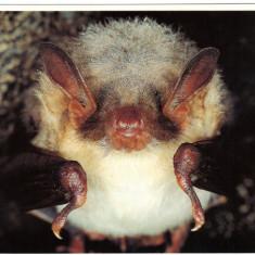Carte postala tematica - Carte postala ilustrata FAUNA - Animale salbatice - insectivoare - liliac (myotis myotis)