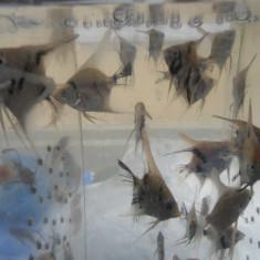 Vand pesti exotici, scalari - Specii pesti