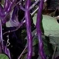 Seminte fasole