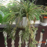 Plante ornamentale - Planta ornamentala