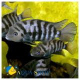 Specii pesti, Cichlidae - Pesti de acvariu nigro ciclide amercane