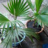 Vand palmieri de diferite marimi