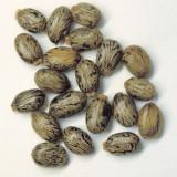 Seminte ricin (2014, 30 bucati)