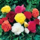 Bulbi flori adusi di franta si olanda de calitate.