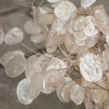 Lunaria annua - Money Plant