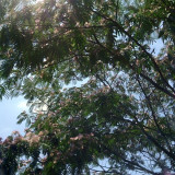 Copac de matase/copacul Mimosa (Albizia julibrissin) (20 seminte)
