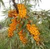 Arbusti fructiferi - Catina 2 ani
