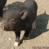 Rase porci - Porci Vietnamezi