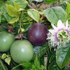 Seminte passiflora edulis-maracuja