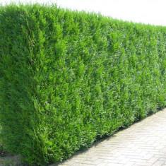 Thuja plicata Atrovirens - Tuia gigant