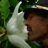 Seminte rare de Magnolia Frunze si Flori Uriase - 2 seminte pt semanat