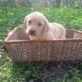 Pui Labrador Retriever - Caine, Gen: Mascul