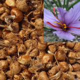 Sofran bulbi 16 bucati. Flori frumoase plus produ-ti propriul condiment sofran.
