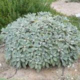 Salvia officinalis – salvia