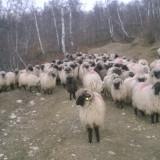 Oi/capre - Oi turcane
