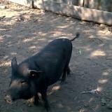 Porci - Rase porci