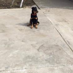 Caine - Rottweiler