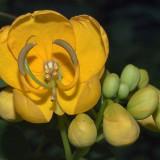 Seminte rare de Senna corymbosa - Floare fluture - 2 seminte pt semanat