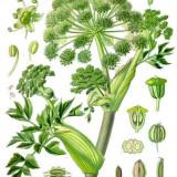 Seminte de Angelica Archangelica- 4 seminte pentru semanat