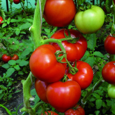 Seminte de tomate Benatar F1