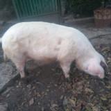 Porc de vânzare - Rase porci